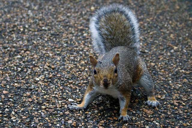 Eichhörnchen im Hyde Park